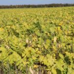 Deciding which cover crops to use