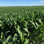 Corn market remains bleak due to good U.S. growing conditions, despite lower stocks