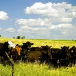 The number of beef heifers retained for breeding declined by 2.6 per cent.