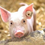 Eliminating enzyme creates virus-resistant pigs
