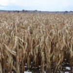 Agricorp announces corn salvage program