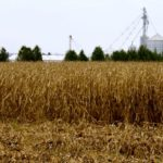 Weather makes for different corn harvest conditions in Ontario and the U.S.