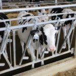Dairy genomic project closer to feed efficiency number