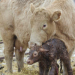 Producers should ensure calves suckle quickly after birth