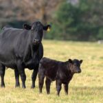 A new project is targeting Bovine Respiratory Disease in cattle.