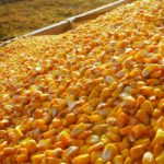 U.S. farmers seen planting more corn, less soy in 2019