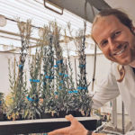 Martin Mau, a senior researcher at the University of Saskatchewan's Global Institute for Food Security, examines mature boechera plants that are setting seeds in one of the institute's climate chambers.