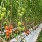 Greenhouse biosecurity will be key to keeping tomato pest out of Canada