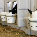 Calves benefit from mother's post-colostrum milk