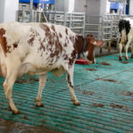 Milk price, higher production push farmers to look at different feeding options