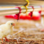 Poultry disease outbreaks can move quickly within a barn, and to nearby other farms.
