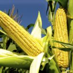 IGC cuts forecast for 2019/20 world corn production