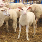 Small ruminant market prices remain high