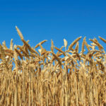 Finding ways to increase payback on wheat