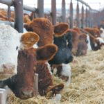 Preconditioning gives calves better start when entering feedlots