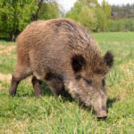Wild boar groups small so far in Ontario