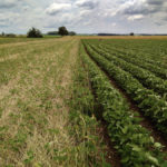 OSCIA-supported trial examines no-till organic soybeans