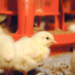 'Slow-growth' chicken soon to be on the shelf