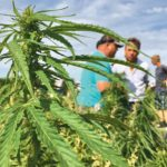 Canadian exporters have hopes for hemp