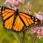 Milkweed key to building monarch butterfly numbers