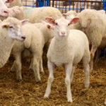 Ontario Sheep looks into production insurance