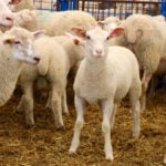 Production insurance could help stabilize farmer incomes, according to Ontario Sheep Farmers.