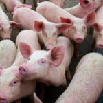 U.S. pork exports have jumped as hog processors vie for business in China where African swine fever has devastated hog herds. Though not harmful to humans, the disease is deadly to pigs and there is no vaccine available