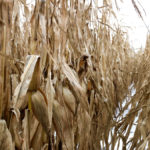 Deoxynivalenol (DON) infections were widespread in Ontario's corn crop last year.