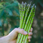 Guelph asparagus variety has transformed the Ontario sector