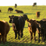 Cattle and pasture help to sequester carbon.