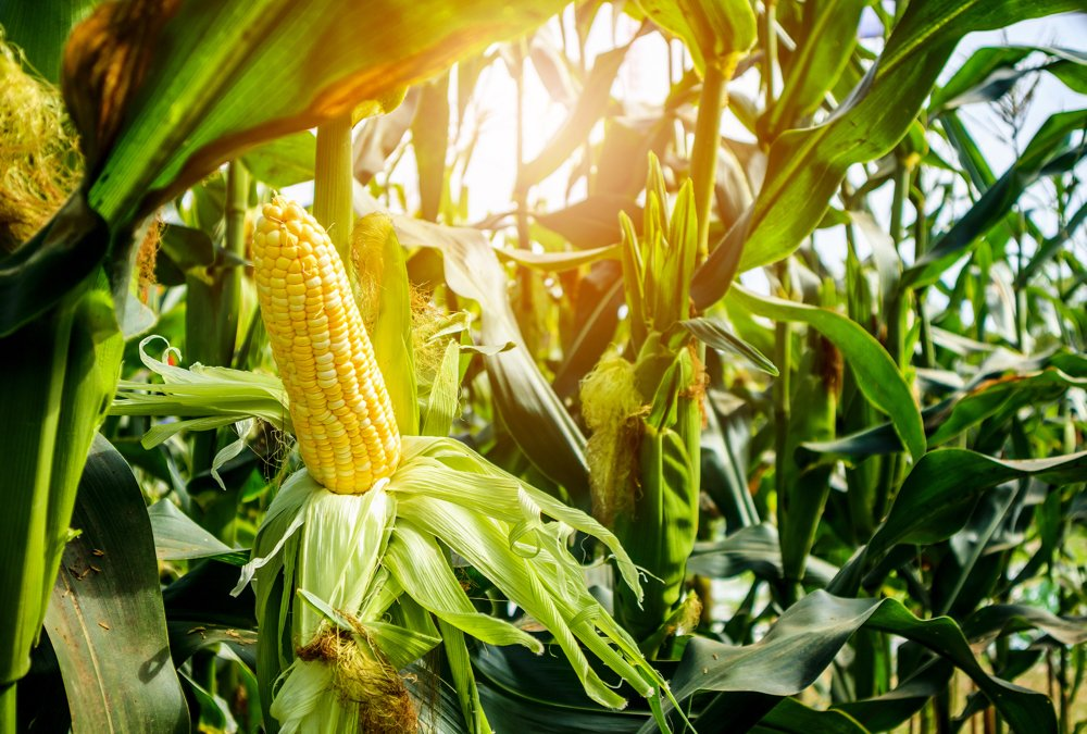 Sweet corn had a 6.9 per cent yield boost after a diverse cover crop.