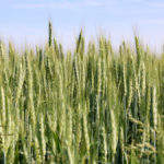 Study shows added benefits of wheat in rotation