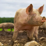 Tackling a more virulent African swine fever