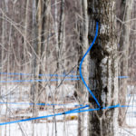 Great maple syrup year overshadowed by coronavirus chaos
