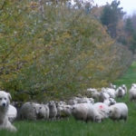 Sheep pastures expanded into orchards, woodlots