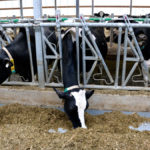 Study shows heat stress challenges increasing in Ontario dairy cows