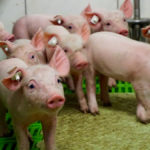 Regional vaccine helps manage swine influenza