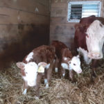 Delayed calf twin surprises farmers