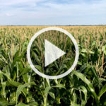 VIDEO: Fungicide in corn silage