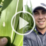 VIDEO: Western Bean Cutworm
