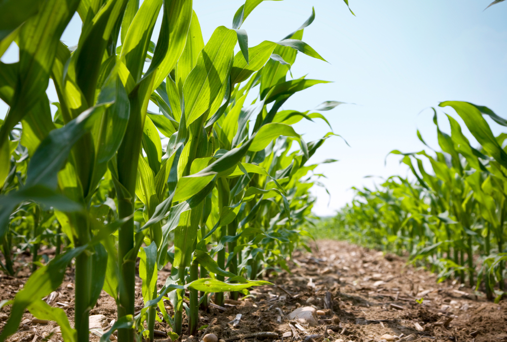 Fields that grow continuous corn have fewer nutrients for soil microbes.