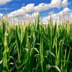 Feed need, timing determines value of silage corn fungicides