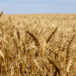 Winter wheat harvest decent in 2020