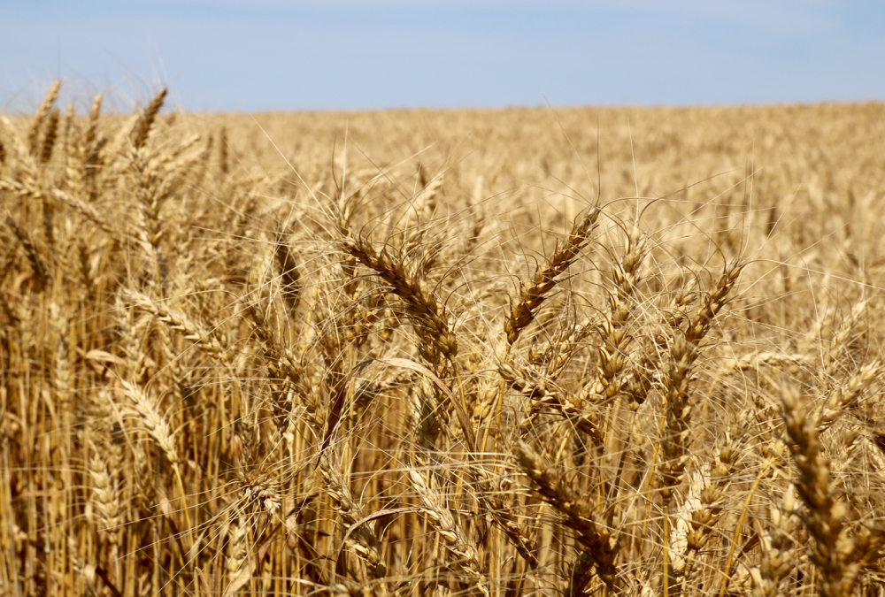 Will the Southern Freeze impact U.S. Winter Wheat Crops?