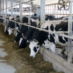 Major dairy breeds moving to composites for bull proofs