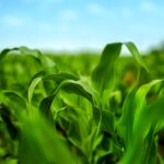 Syngenta maintains WBC trait advantage