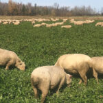 Mike Swidersky grazed weaned sheep on a clover cover crop which was underseeded in wheat.