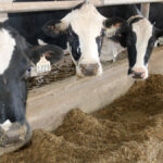 Dairy resiliency index to encompass several traits