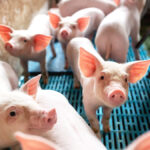 Livestock feed imports restricted to limit disease risk