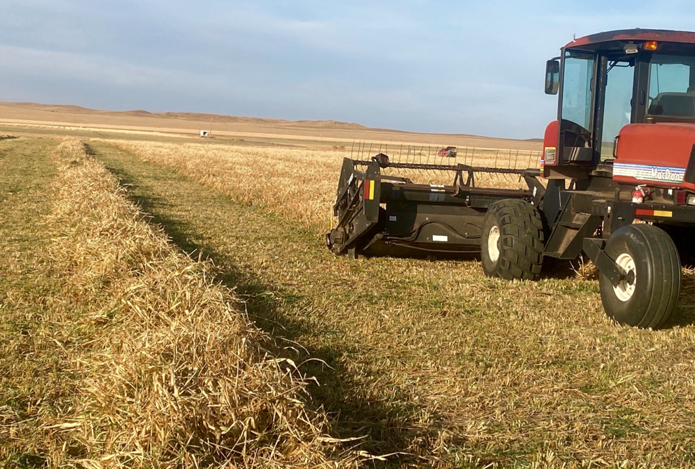 Cover crops were swathed at the South Dakota Lakes Research Farm and will be grazed over the winter.